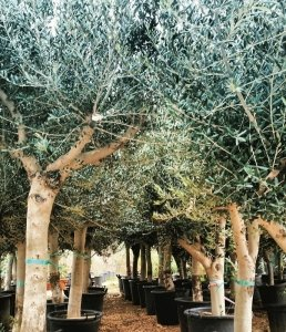 Olivi | Le piante e i fiori di Fabbri Vivai