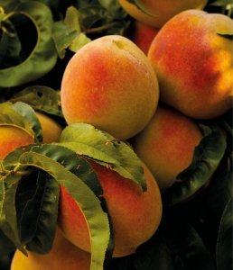 Piante da Frutto | Le piante e i fiori di Fabbri Vivai