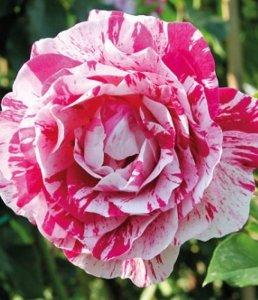 Rose d'Autore e Rosai | Le piante e i fiori di Fabbri Vivai